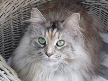 Dolly - Maine Coon