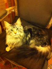 Genny - Maine Coon